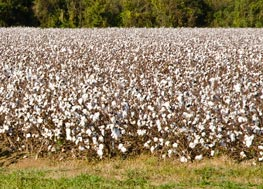 Cotton field ripe for picking.