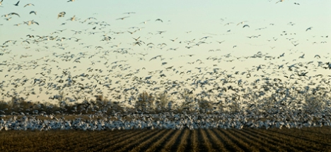 "Geese in and above a ""buckshot"" field near Sherrill AR."