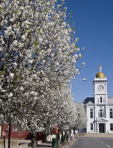 Blooming Bradford Pear trees frame the Jefferson County Courthouse on Main Street in Pine Bluff, Arkansdas.