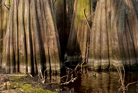 These trees showing their massive bases are just inches of water. The normal waterline about 3/4 up the visible trunk from the current water level.
