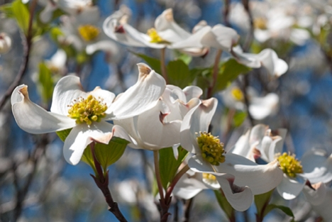 Thewild dogwoods in south Arkansas are going wild. In some areas, the woods apppear to have been carpet bombed with blooming dogwood trees. A good thing,
