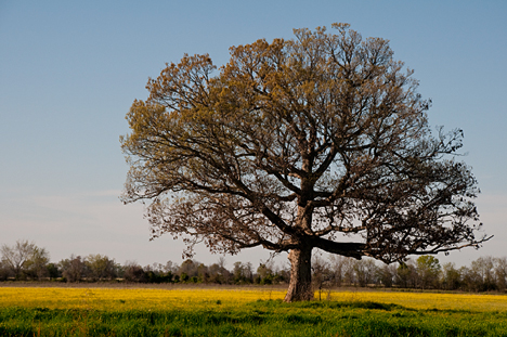 The golden color of the field and tree may fool you into believing this is a scene left over from the fall. Not so. This scene, shot March 29 is illuminated by golden, late afternoon sun. The tree is just beginning to sprout the pollen rich buds which will become the leaves of summer.