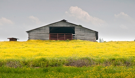 This old chicken house near Rowell AR on US Highway 63 appears to be floating on a sea of buttercups. The area around Rowell seems to have more that its share of buttercups this year. It's hard to imagine having too many flowers nearby.