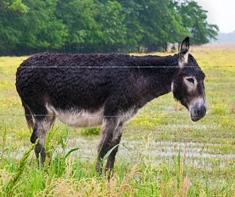 This jenny (a mamma donkey) seems unfazed and could care less about being soaked.