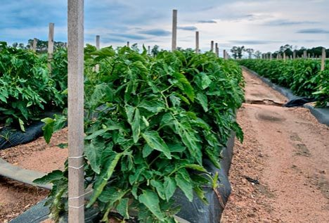 One of Randy Clanton's tomato fields near Hermitage, Arkansas. Randy, a second-generation tomato farmer is reknowned for producing tomatoes that tast good.