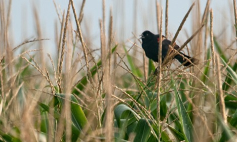 I leave you this week by giving you the bird. The redwinged blackbird was perched in a healthy stand of corn near Cornerstone, Arkansas. I stopped to look at the corn and the bird. He staid put until I got the shot and then departed.