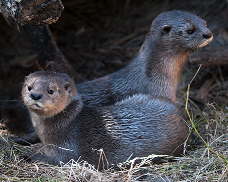 african spotted otters