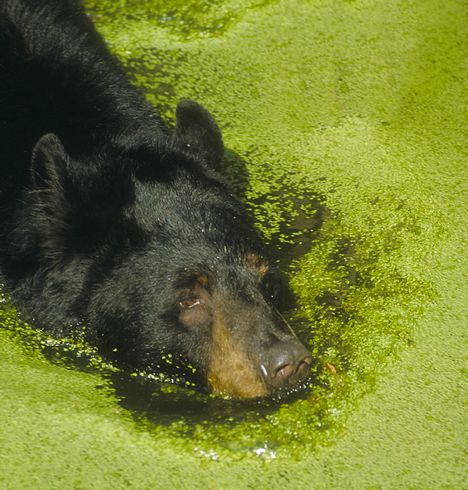 bear in pond at Audubon Park Zoo
