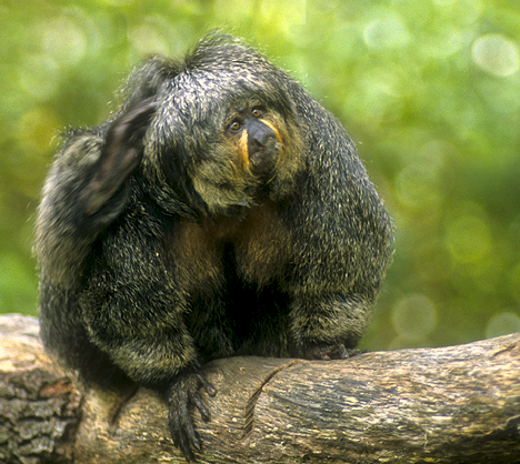 primate in tree at Audubon Park Zoo