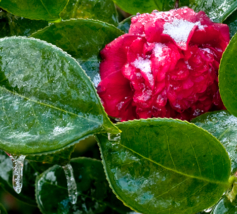 Camellia with ice