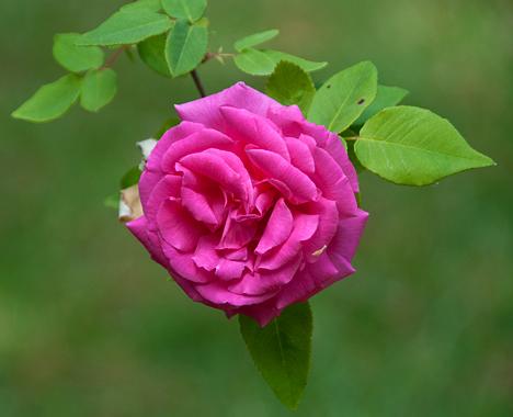 dlimbing rose