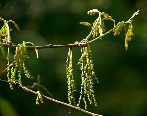 oak blooms