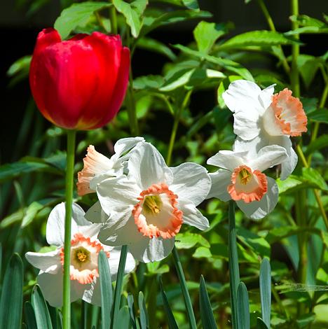 tall tulip