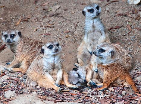 Meerkats at Memphis Zoo