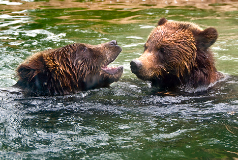 bears having a spat in a pond