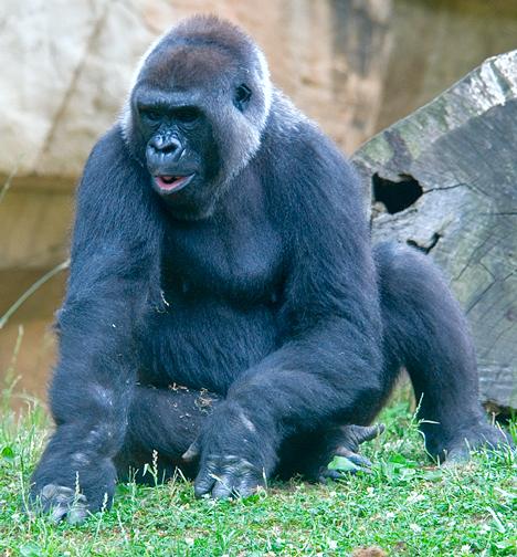 lowland gorilla at memphis zoo