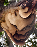 Giant honey comb in tree