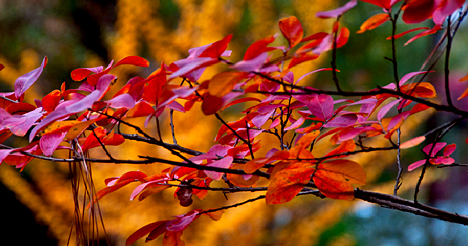 crepe myrtles with fall colors