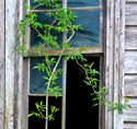 shrub and old window