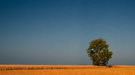 lone tree in field