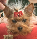 Yorkshire Terrier Show Dog