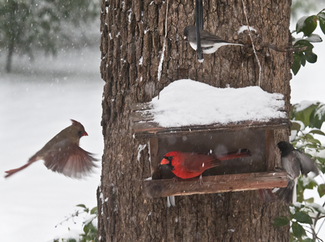 female cardinal at birdfeeder