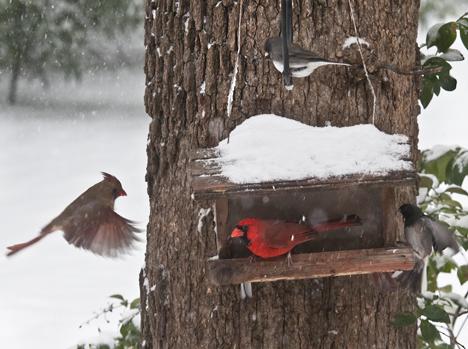 female cardinal at birdfeeder