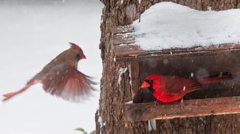 female cardinal landing on bird feeder in snow