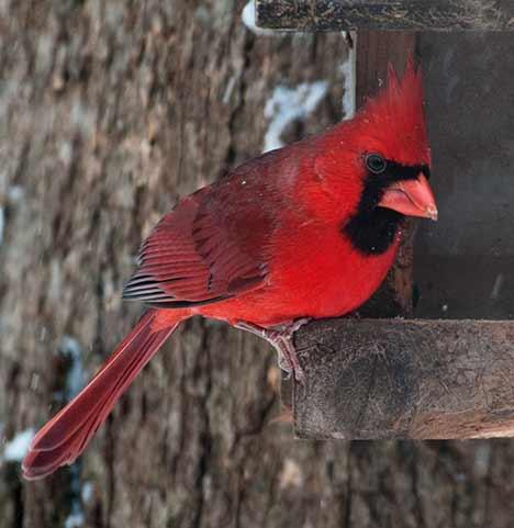 Cardinal on bird feeder in snow storm