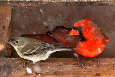 Sparrow and cardinal on bird feeder in snow