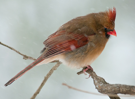 female cardinal on limb during snow storm