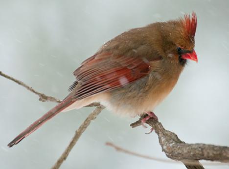 female cardinal on limb during snow storm