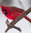 cardinal on limb in snow storm