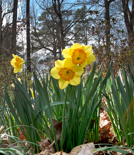 jonquils from ground level