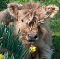 scottish highland calf