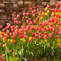 Tulips at Garvan Garden entrance