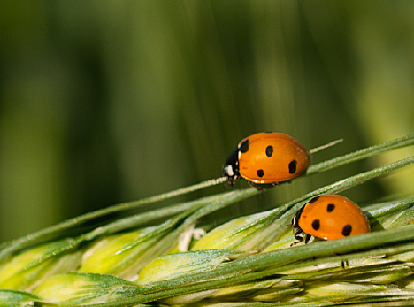 Lady bugs on wheat