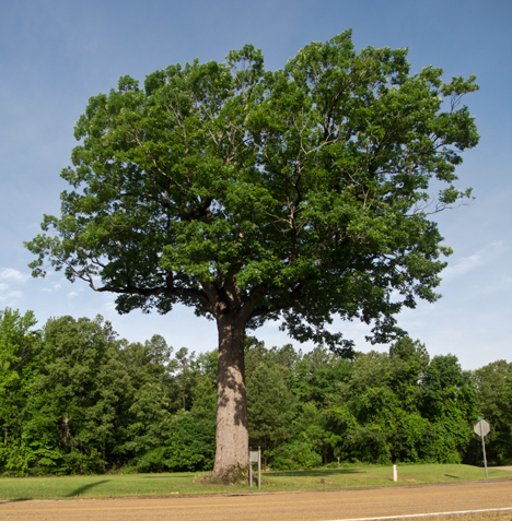 Arkansas Look-See tree