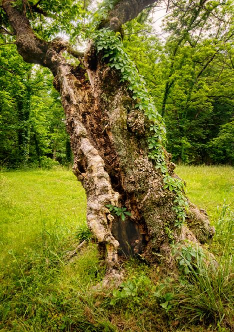 old gnarled tree