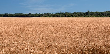 Wheat field in Arkansas