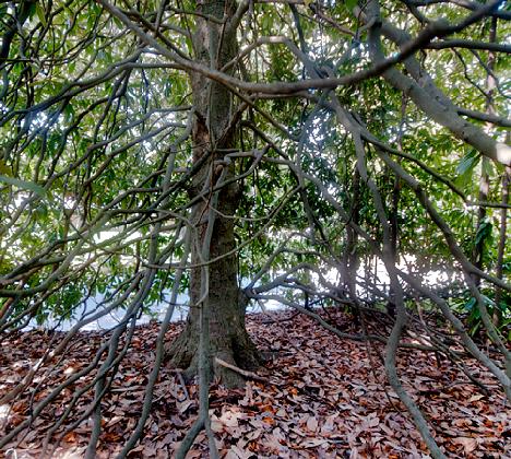 inside a magnolia tree base