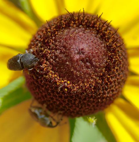 bugs on black eyed susan