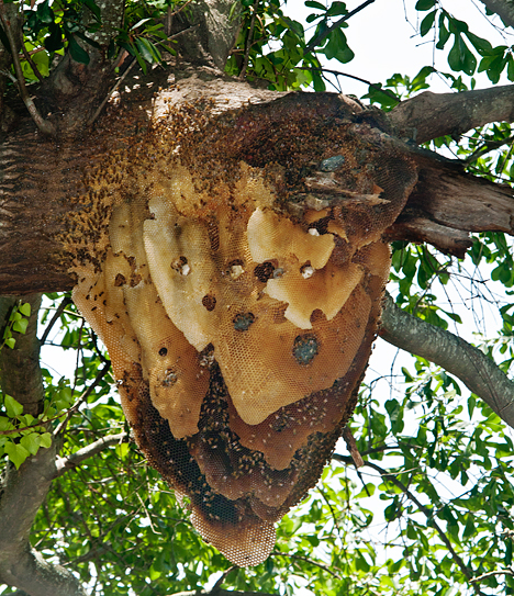 large bee hive in tree