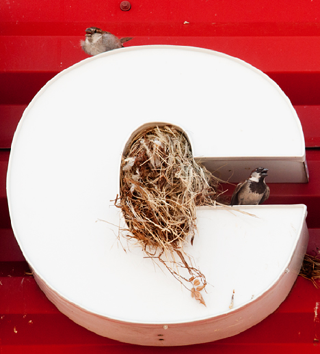 sparrow nest in store sign