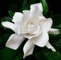 jasmime bloom