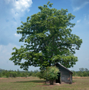 large catalpa tree