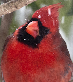 Cardinal in snow storm