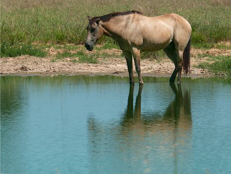 buckskin in a pond