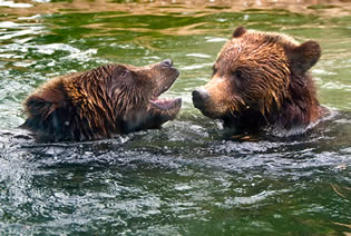 swimming bears