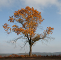 Tree on White Oak Mountain
